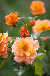 Rosa Scent from Heaven ('Chewbabaluv')