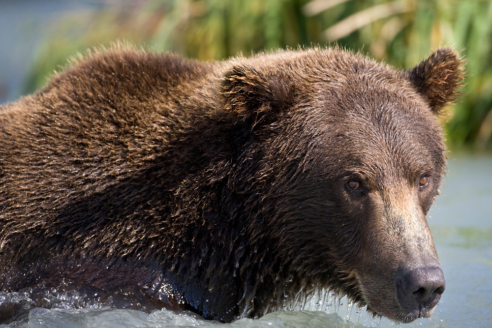 USA, Alaska, Katmai National Park, Kukak Bay, Brown Bears (Ursus arctos) wading in shallow stream while fishing for spawning salmon in late summer