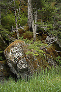 Dense temperate rainforest growth with moss atop rocks, Prince William Sound, AK