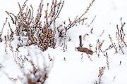 Dartford warbler (Sylvia undata) foraging on snow covered heathland. Chobham Common, Surrey, UK.