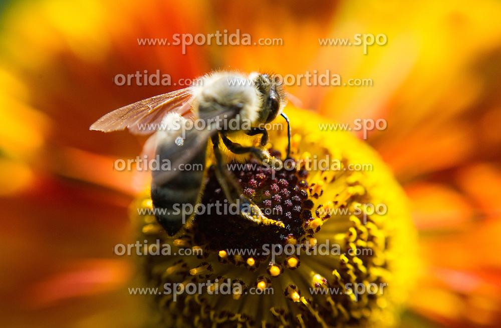 THEMENBILD - Bienen. Das Bild wurde am 20. Juli 2013 aufgenommen. im Bild Westliche Honigbiene oder Europaeische Honigbiene (Apis mellifera) sammelt Pollen // THEME IMAGE FEATURE - Bees. The image was taken on july, 20th, 2013. Picture shows Western Honey Bee or European Honey Bee (Apis mellifera) collecting pollen, AUT, EXPA Pictures © 2013, PhotoCredit: EXPA/ Michael Gruber