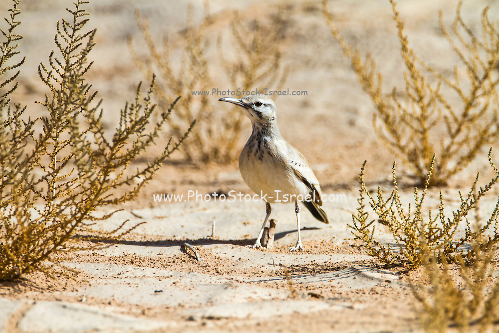 Greater hoopoe-lark in the desert. The greater hoopoe-lark (Alaemon alaudipes) is a breeding resident of arid, desert and semi-desert regions from the Cape Verde Islands across much of north Africa, through the Arabian peninsula, Syria, Afghanistan, Pakistan and India. Photographed in Israel