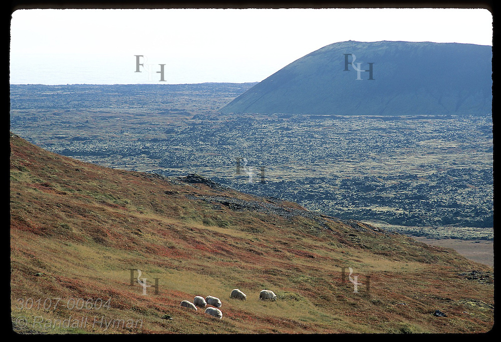 Sheep graze on hillside above ancient lava field on southern coast of the Snaefellsnes peninsula; Iceland.