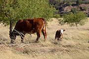 Cattle graze on open range, Coronado National Forest, Santa Rita Mountains, Sonoita, Arizona, USA.