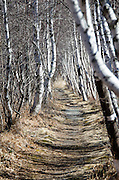 Graceful white-barked Paper Birch trees (Betula papyrifera) line a hiking path in Acadia National Park, Maine.