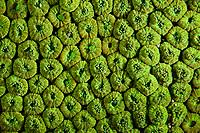 Coral polyps, Hoi Ha Wan Marine Park, northeast coast, New territories, Hong Kong, China. This Image is a part of the mission Wild Sea Hong Kong (Wild Wonders of China).
