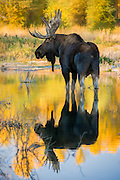 Bull moose reflected in a calm pool during the fall rut in Grand Teton National Park.