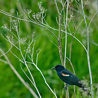 A Red-winged Blackbird (Agelaius phoeniceus), perches on a branch in Montana's Gallatin Valley, near Bozeman.