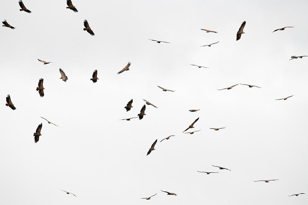 Griffon vultures, Gyps fulvus, Parque Natural Sierra de Andújar, Andalucia, Spain