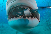 A Tiger Shark, Galeocerdo cuvier, opens its mouth to feed on a piece of bait on a pole spear.