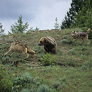 Grizzly Bear, (Ursus horribilis) Wolf and grizzly bear confrontation.  Captive Animal.