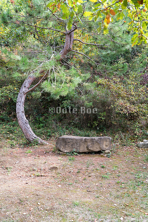 curved tree with natural stone bench