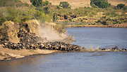 As part of the great migration a group of wildebeests is crossing Mara River in July 2013.