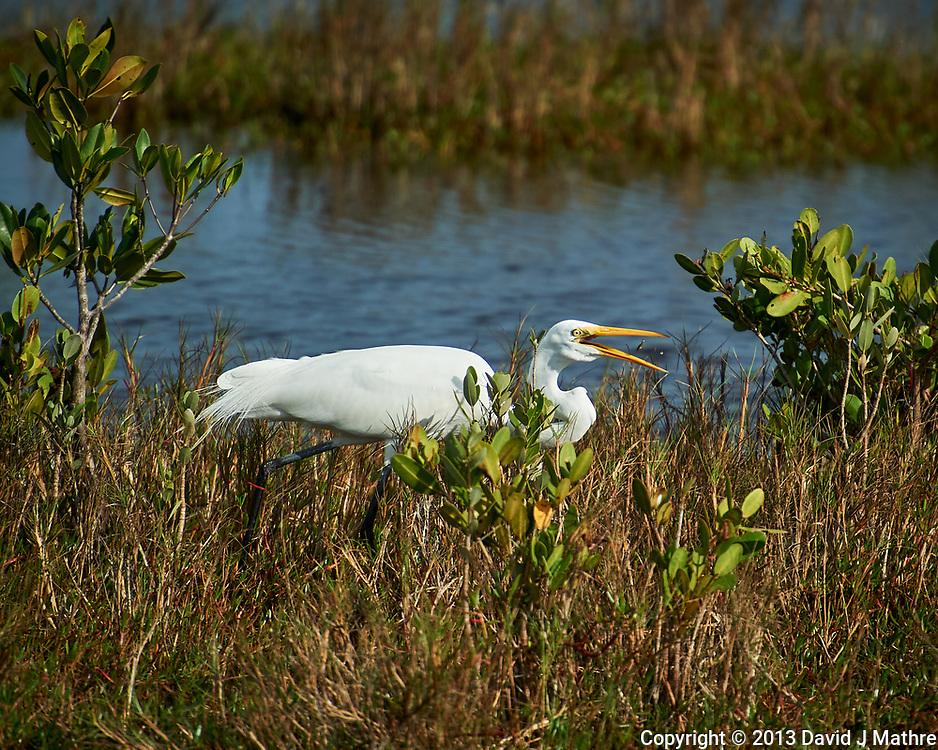 Great Egret. Black Point Wildlife Drive, Merritt Island National Wildlife Refuge. Image taken with a Nikon D3s camera and 70-200mm f/2.8 lens with a 2.0 TC-E III teleconverter (ISO 200, 400 mm, f/5.6, 1/1600 sec).