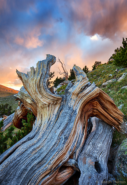An emerging storm is painted by the sun's waning light. I used this fallen log near the edge of treeline to frame a distant bristlecone.