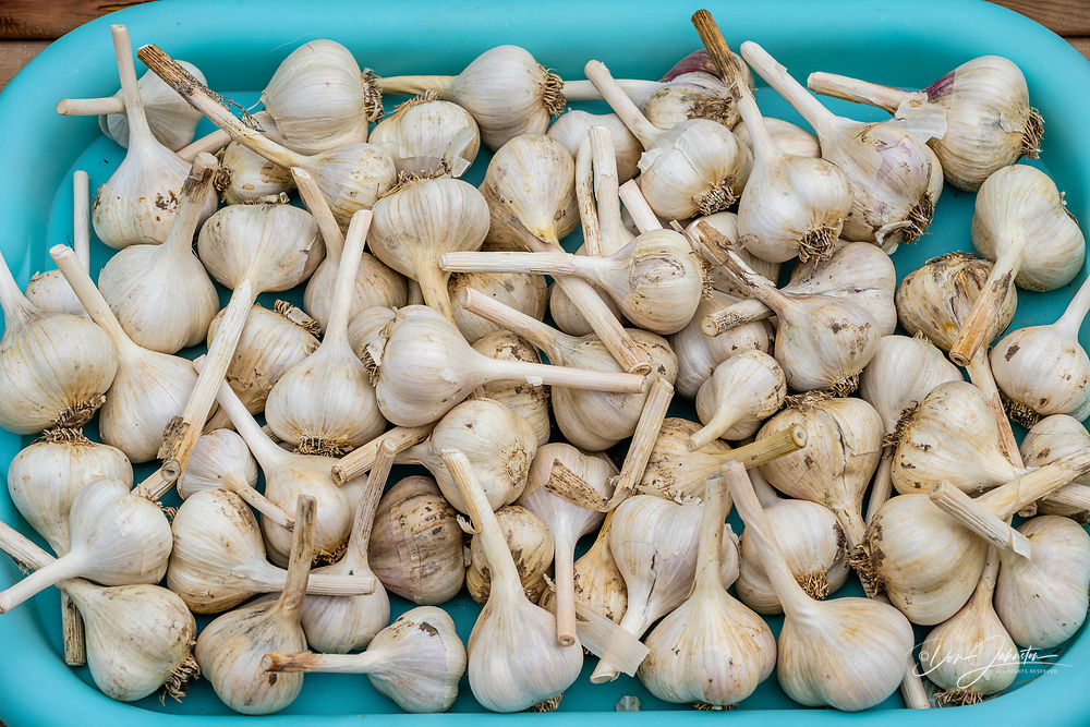 Garlic bulb harvest, Greater Sudbury, Ontario, Canada