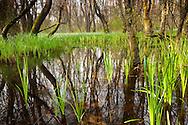 Swamp Snowdrops