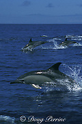 common dolphins, Delphinus delphis, porpoising out of the water, Azores Islands, Portugal ( North Atlantic Ocean )