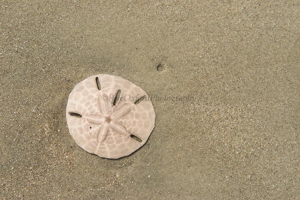 Sand dollar (Echinarachnius parma)<br /> Little St Simon's Island, Barrier Islands, Georgia<br /> USA