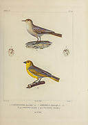 hand coloured sketch Top: greyish miner (Geositta maritima [Here as Certhilanda maritima]) Bottom: citron-headed yellow finch (Sicalis luteocephala [Here as Emberiza luteocephala]) From the book 'Voyage dans l'Amérique Méridionale' [Journey to South America: (Brazil, the eastern republic of Uruguay, the Argentine Republic, Patagonia, the republic of Chile, the republic of Bolivia, the republic of Peru), executed during the years 1826 - 1833] 4th volume Part 3 By: Orbigny, Alcide Dessalines d', d'Orbigny, 1802-1857; Montagne, Jean François Camille, 1784-1866; Martius, Karl Friedrich Philipp von, 1794-1868 Published Paris :Chez Pitois-Levrault et c.e ... ;1835-1847