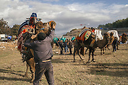 TURKEY, Izmir, Selçuk. Competing camels are kept outside the wrestling arena between their matches at the 35th annual Selçuk Camel Wrestling Festival.
