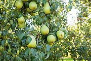 Joey Redflesh Pear