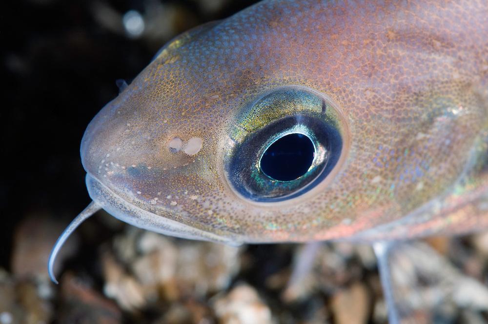 Poor cod, Trisopterus minutus, Trondheimsfjorden, Norway