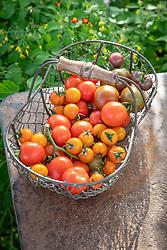 Outdoor tomato collection - Tomato 'Stupicke Polni Rane', Tomato 'Cocktail Crush', Tomato 'Consuelo', Tomato 'Sungold' F1, Tomato 'Chocolate Cherry' and Tomato 'Noire de Crimee'