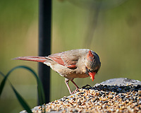 Female Northern Cardinal. Image taken with a Nikon D5 camera and 600 mm f/4 VR lens (ISO 450, 600 mm, f/5.6, 1/1250 sec).