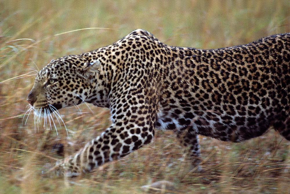 Kenya, Masai Mara Game Reserve, Adult Female Leopard (Panthera pardus) stalking through tall grass while hunting Wildebeest