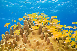 Schooling French Grunts, Haemulon Flavolineatum, over Pillar Coral, Dendrogyra cylindrus, Sugar Wreck, the remains of an old sailing ship that grounded many years ago, West End, Grand Bahamas, Caribbean, Atlantic Ocean
