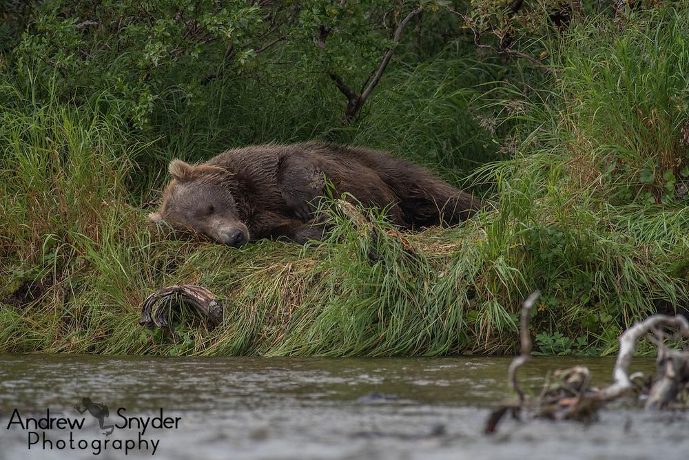 A brown bear naps in between rounds of catching salmon - Katmai, Alaska