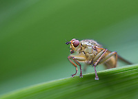 Yellow Dung Fly, Scathophaga stercoraria, macro image resting on green leaf