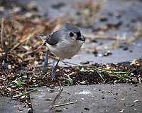 Tufted Titmouse. Image taken with a Nikon D5 camera and 600 mm f/4 VR telephoto lens (ISO 1600, 600 mm, f/5.6, 1/400 sec).