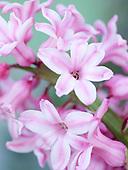 Hyacinthus :: Gallery