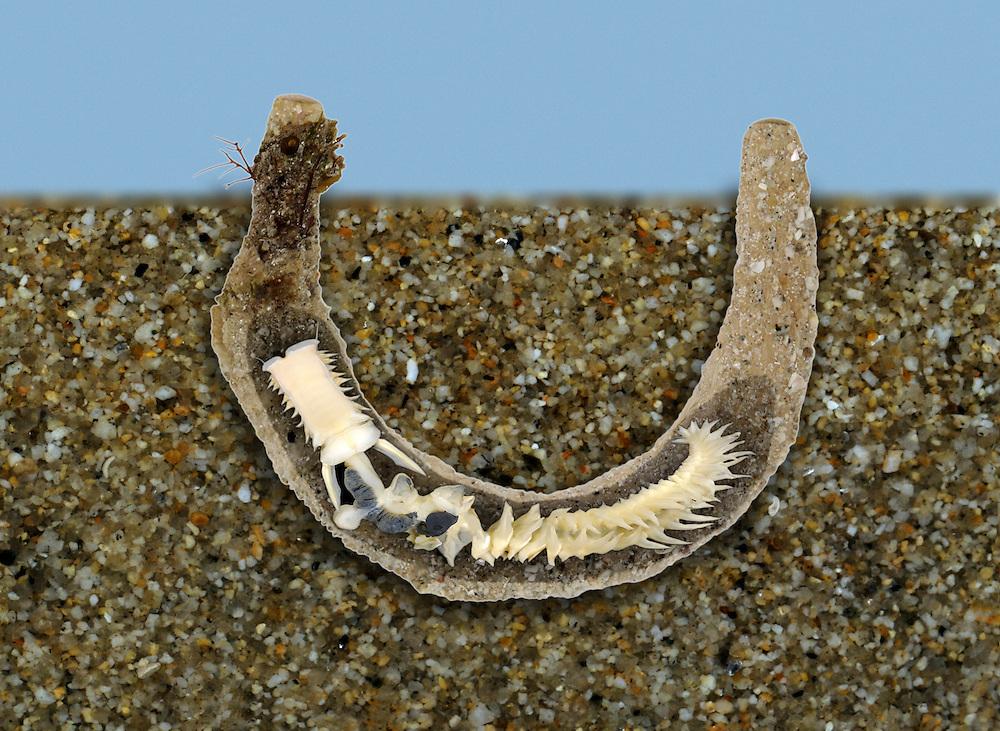 Parchment Worm - Chaetopterus variopedatus