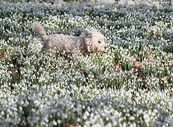 © Licensed to London News Pictures. 13/02/2017. Newbury, UK.  A Highland Terrier enjoys the Snowdrops in the woods at Welford Park near Newbury. Welford Park, where The Great British Bake Off is filmed every summer, is only open for visitors for five weeks in the year - until March 5th. Sunshine and warmer temperatures are expected in the south today after the recent cold spell.  Photo credit: Peter Macdiarmid/LNP
