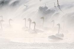 Trumpeter Swans on a frigid morning in Swan Valley Idaho