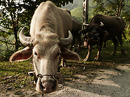 two buffalos along the road. One approach its muzzle to the camera. Ha Giang province, Vietnam, Asia
