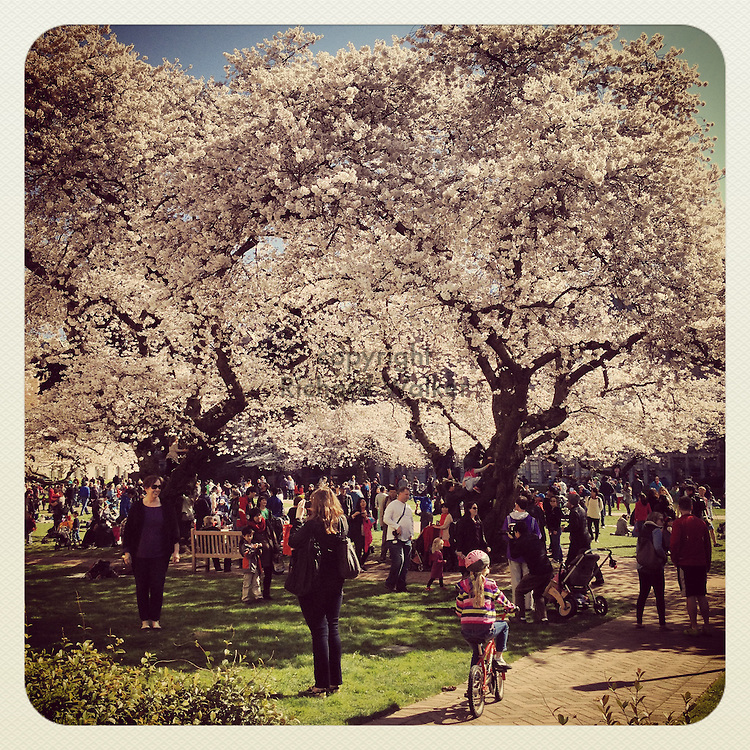 2014 March 23 - People enjoy cherry blossoms in full bloom on the University of Washington UW campus, Seattle, WA, USA. Taken/edited with Instagram App for iPhone. By Richard Walker