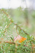 Birch leaf fallen in juniper (Juniperus communis) needles, Zemgale, Latvia Ⓒ Davis Ulands | davisulands.com