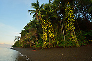 Morning light graces the palm trees and tropical rainforest growing above a black gravel beach in Golfo Dulce, Puntarenas, Costa Rica.