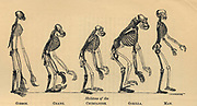 Primate skeltons from Gibbon, left, to Man. Gibbon proportionally twice natural size.