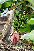 Banana stalk, Hawaii