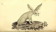 Fennec from General zoology, or, Systematic natural history Part I, by Shaw, George, 1751-1813; Stephens, James Francis, 1792-1853; Heath, Charles, 1785-1848, engraver; Griffith, Mrs., engraver; Chappelow. Copperplate Printed in London in 1800. Probably the artists never saw a live specimen