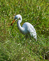 Great Egret (Ardea alba) with a frog for lunch. Sourland Mountain Preserve. Image taken with a Nikon D4 camera and 600 mm f/2.8 lens.