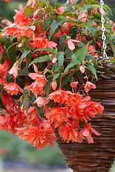 Begonia  'Sherbert Lemon' in a hanging basket