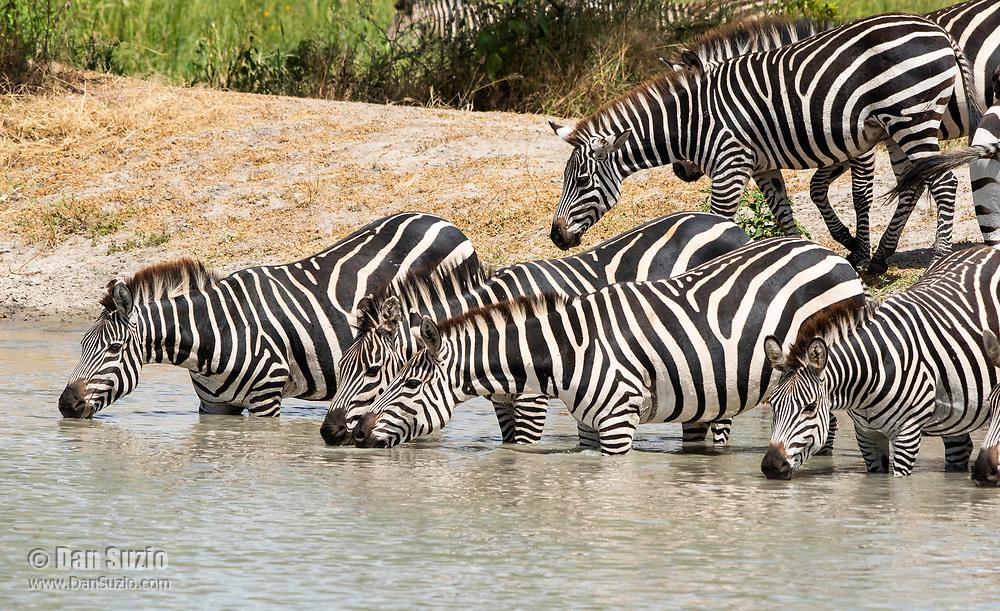 Grant's Zebras, Equus quagga boehmi, drink from a pond in Tarangire National Park, Tanzania