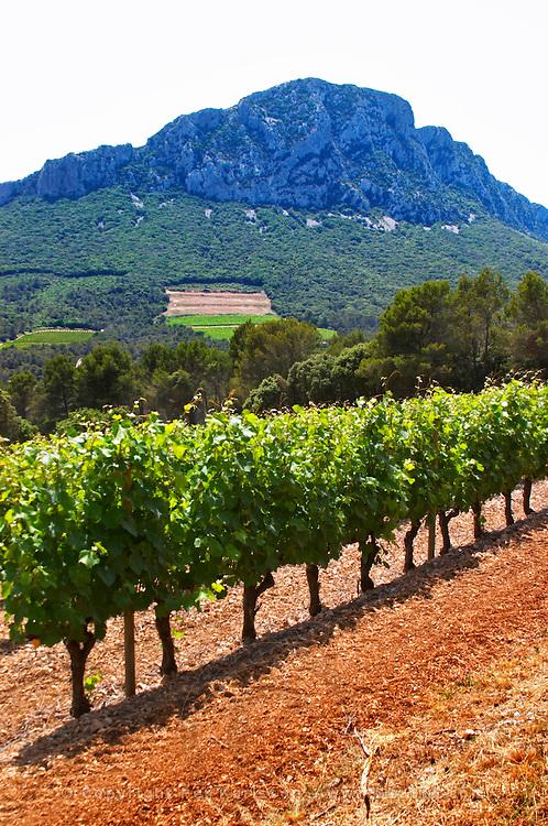 Domaine de l'Hortus. The Pic St Loup mountain top peak. Pic St Loup. Languedoc. Mourvedre vines facing south. France. Europe. Vineyard.