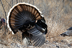 Backlit Wild tom turkeys (Meleagris gallopavo) strutting in grass, Ladder Ranch, west of Truth or Consequences, New Mexico, USA.